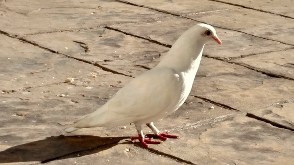 Dave the white dove