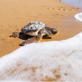 Ten Of The First Turtles To Be Born In Murcia Region For 100 Years Released On Monday