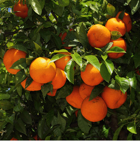 'A role model': how Seville is turning leftover oranges into electricity