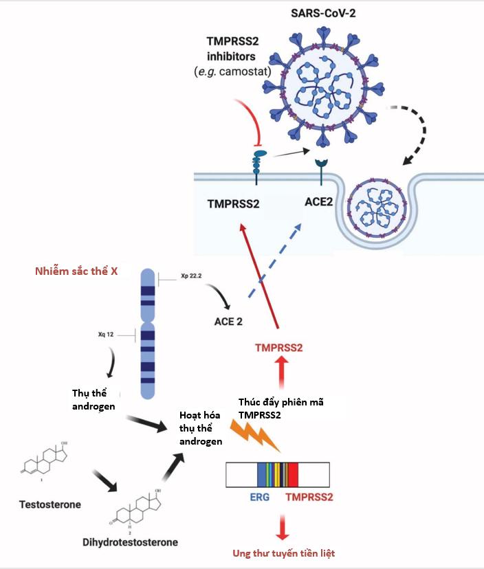 Sự khác biệt về giới tính: vai trò của nội tiết tố androgen trong mức độ nghiêm trọng và tiến triển của bệnh COVID-19